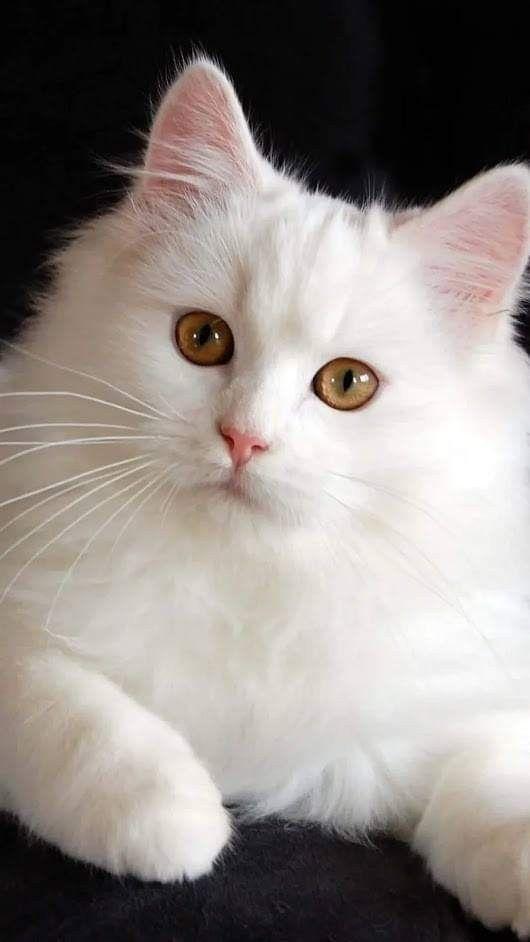 Poblacion japonesa va a matar gatos rusos azules por esta intrigante razon y otras noticias